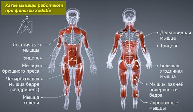 схема работающих мышц человека
