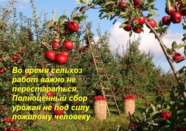 полные корзины яблок в саду